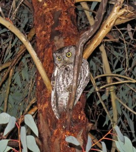 Western Screech owl by K. Schneider