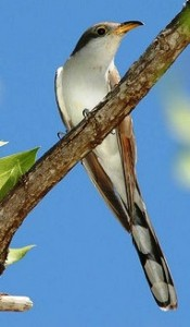 Yellow-billed Cuckoo by Jay Bass