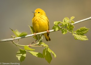 Yellow warbler by Steven Kersting