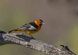 Bullock's Oriole by Gregory Smith
