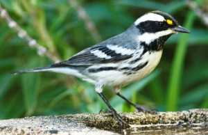 Black-throated Gray Warbler by Matt Knoth