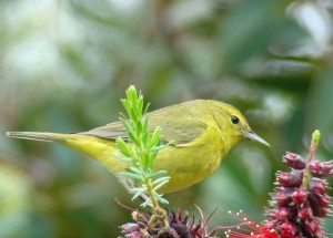 Orange-crowned Warbler by Maggie Smith