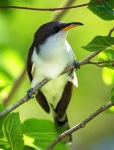 Yellow-billed Cuckoo by Steve Baranoff