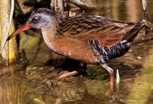 Virginia Rail by Mike Baird