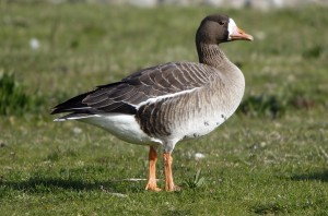 White-fronted Goose by Rick Leche