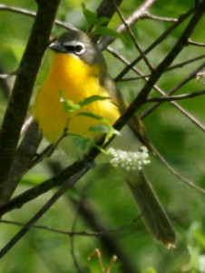 Yellow-breasted Chat by shell game