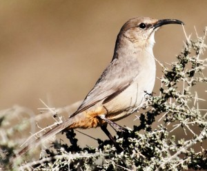 Le Conte's Thrasher by Bill Bouton