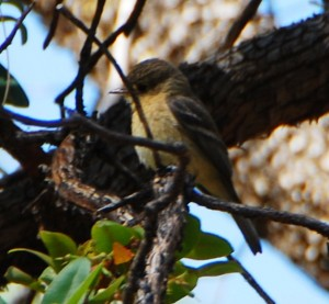 Buff Breasted Flycatcher by Jennie MacFarland