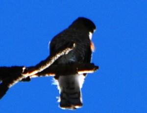 Sharp-shinned Hawk by J. MacFarland