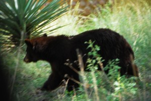 Black Bear spotted on drive out od Chiricahua Mountains