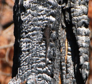 Spiney Lizard using burned tree Chiricahua Mountains