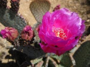 Beaver Tail Prickly Pear Cactus by Matt Griffiths