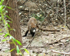 Coati on the Lower San Pedro
