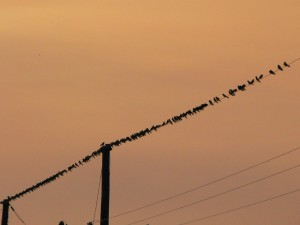 Purple Martins along the Lower San Pedro