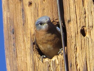 Azure Bluebird in nest hole by Richard Thompson