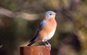 Male Azure Bluebird by Lois Manowitz