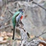 Elegant Trogon_Richard Fray
