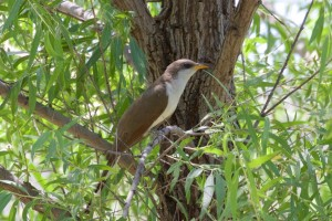 western Yellow-billed Cuckoo by HarmonyPlanetEarth