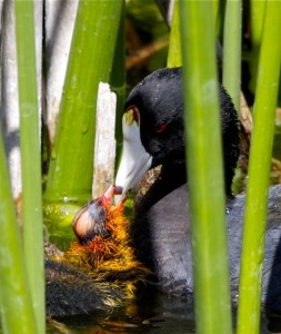 American Coot by Teddy Llovet