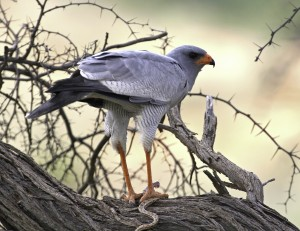 Pale Chanting Goshawk by Sean van der Westhuizen