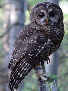 Spotted Owl photo by USFWS- Pacific Region