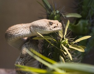 Western Diamondback Rattlesnake by Nathan Rupert