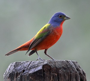 Painted Bunting by Ralph Arvesen