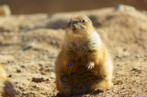 Black-tailed Prairie Dog by Henry McLin
