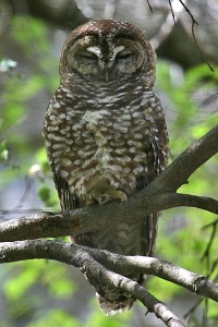 Spotted Owl by Tony Morris