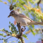 s Warbler by Henry McLin
