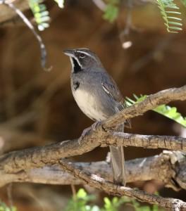 Five Striped Sparrow by Tom Benson