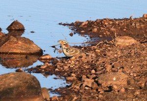 Chestnut-collared Longspur drinking from a tank. Photo by AlanSchmierer